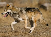 facts about dogs wolf running