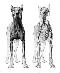 facts about dogs anatomy