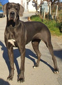 great dane facts about dogs
