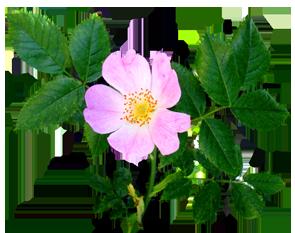 flower image gallery dog rose flower