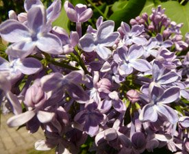 flower pics lilac tree flower close
