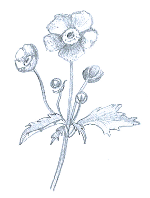 flower sketches anemone japonica