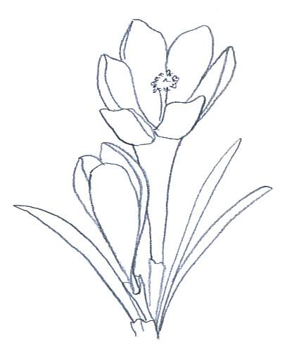 flower clip art crocus