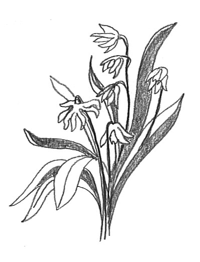 flower sketches scilla
