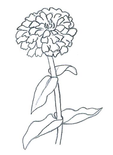 flower sketches zinnia