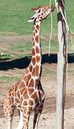 giraffe facts hungry giraffe eating