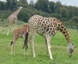 giraffe facts three giraffes