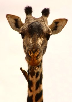 giraffe facts bird taking parasites from neck