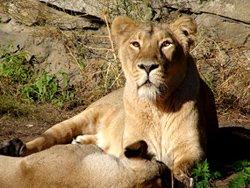 lion pictures lioness