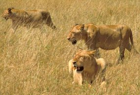 lion facts african lions in hunting