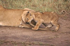 lion cub playing with mothers tail