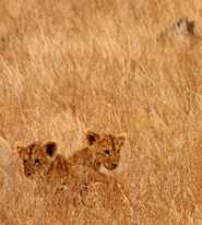 lion cubs playing in high grass
