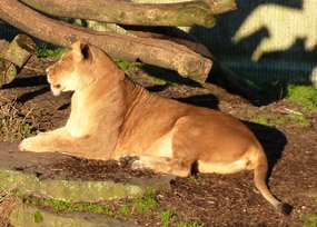 Lioness in zoo