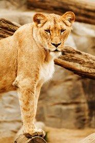 female lion panthera leo