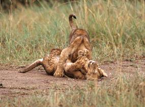 lion cubs wrestling