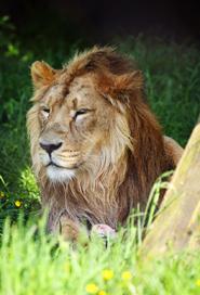 big male lion clipart