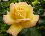 rose clip art yellow orange rose