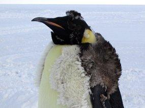 molting emperor penguin