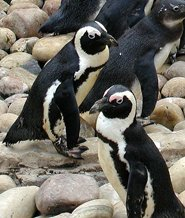 african penguins facts