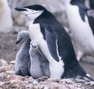 chinstrap penguin with chicks clipart