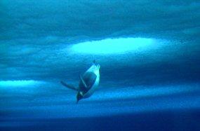 emperor penguin diving in blue water