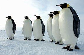 penguin pictures emperor penguins