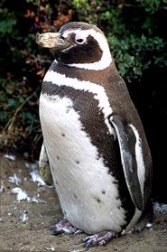 magellani penguin pictures