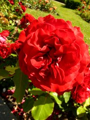 red rose images photo