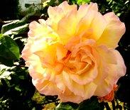 rose photo orange rose