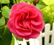 rose clipart pink rose