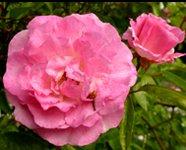 Free rose clipart pink rose rosebud