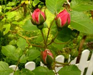 pictures of roses rosebuds