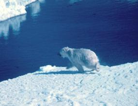 polar bear pictures ice floe