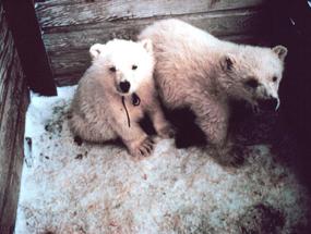 orphaned cubs polar bear to zoo