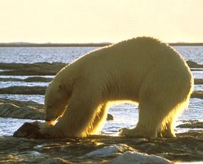 polar bears eating seal