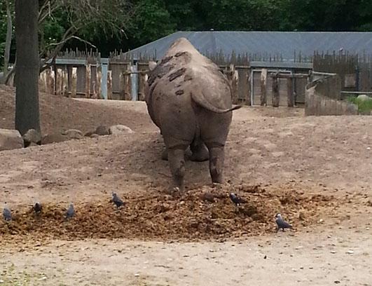 Rhinoceros territory marking