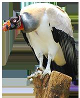 vulture clip art