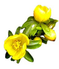 spring-clipart-winter-aconite