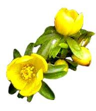spring-clipart-winter-aconite