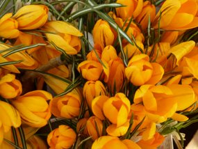 Lots of yellow crocus