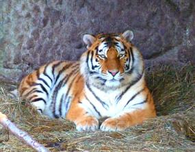 Amur tiger picture
