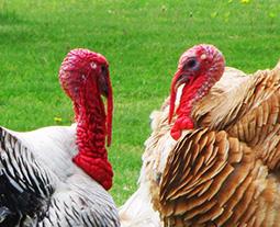 two turkeys talking heads
