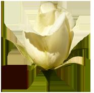 Valentine rose bud clipart