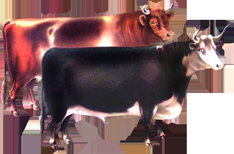 Victorian animal illustration of cows