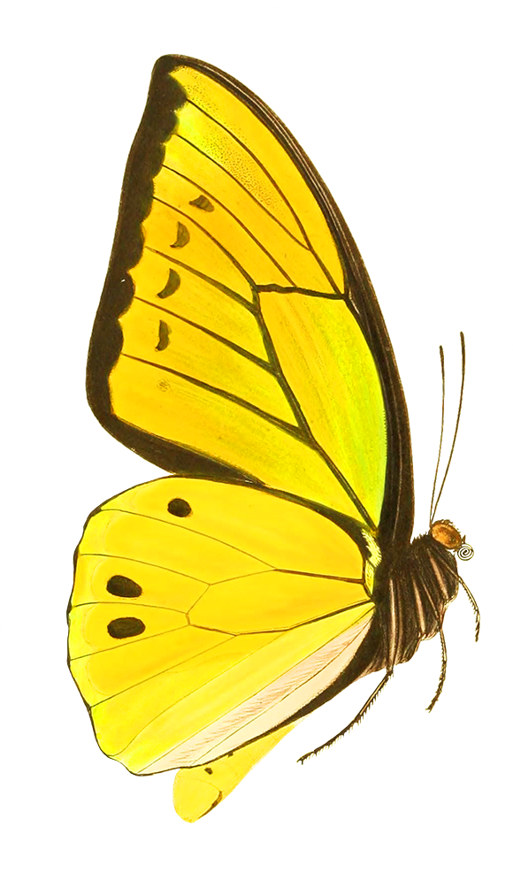 yellow butterfly drawing cut-out