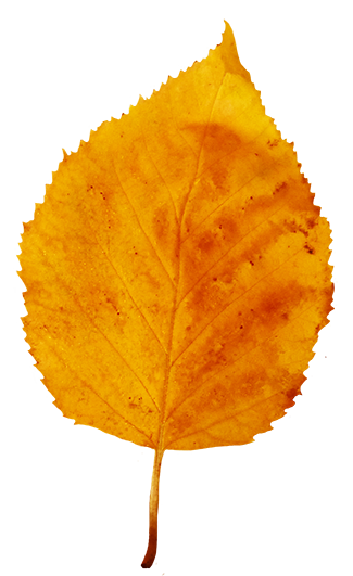 yellow brown fall leaf