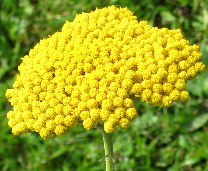 inflorescence yellow clipart