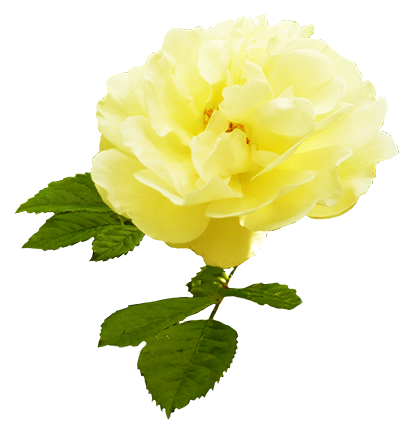 Yellow rose with leaves