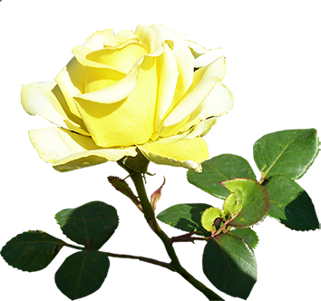 Yellow Valentine Rose