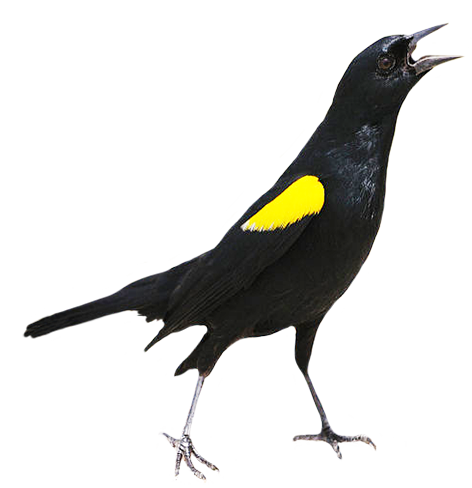 Yellow shouldered Blackbird